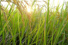 Rice field with sun Royalty Free Stock Photography