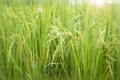 Rice field. Rice field and sun light Stock Image