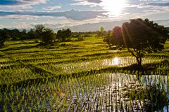 Rice field with sun ray Royalty Free Stock Image