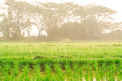 Rice field with sun shine in morning Stock Photography
