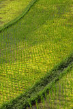 Rice field at a sunny day Stock Image