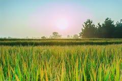Rice field with sunrise Stock Photos