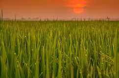 Rice field  and sunrise Royalty Free Stock Photos