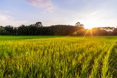 Rice field with sunrise or sunset and sunbeam flare royalty free stock photo