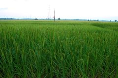 Rice field before sunset Stock Images