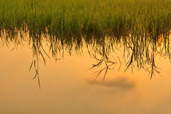 Rice field at sunset Stock Images