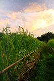 Rice field. Sunset at the rice field Stock Photography