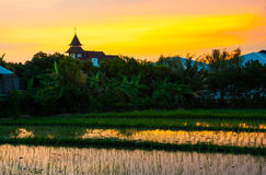 Rice field on sunset. Bali, Indonesia. Royalty Free Stock Image