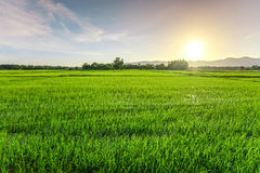 Rice field. In sunset with cloudscape Royalty Free Stock Image