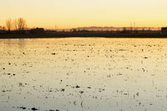Rice field at sunset Royalty Free Stock Photography