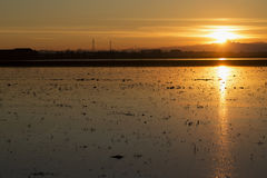 Rice field at sunset Royalty Free Stock Photo
