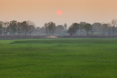 Rice field during sunset Stock Photos