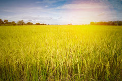Rice field at sunset Stock Photography