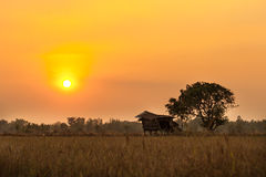 Rice field with sunset scene Royalty Free Stock Images