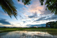 Rice field at sunset Royalty Free Stock Images