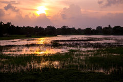 Rice field in sunset Royalty Free Stock Images