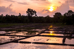 Rice field in sunset Royalty Free Stock Image