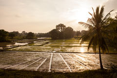 Rice field in sunset Stock Photo