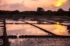 Rice field in sunset Stock Photography