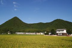 Rice Fields. Rice field surrounding by Japanses community in Yamaguchi City, Japan Stock Image