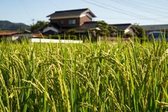 Rice Fields. Rice field surrounding by Japanses community in Yamaguchi City, Japan Royalty Free Stock Image