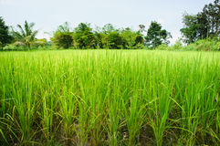 Rice field. In the swamp with trees on behind stock image