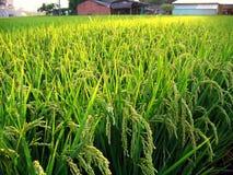 Rice Field in Taiwan Stock Image