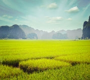 Rice field. Tam Coc Stock Images