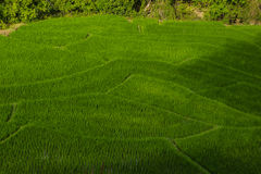 Rice  field. Terrace rice field in Chiangmai at Northern of Thailand Royalty Free Stock Photography