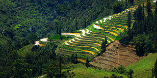 Rice field in terrace. Mountain view of rice field in terrace ,Vietnam Royalty Free Stock Photo