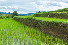 Rice  field. Terrace rice field at Northern of Thailand Royalty Free Stock Image