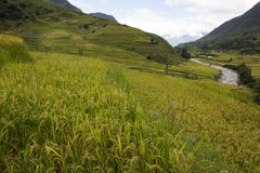Rice field terrace with stream Royalty Free Stock Image