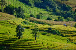 Rice field on terraced mountain. Stock Photos