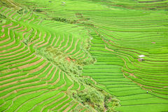 Rice field terraced in Tule village, Vietnam Royalty Free Stock Image