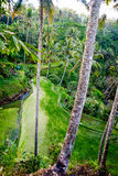 Rice field terraces in Bali Royalty Free Stock Images