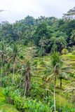 Rice field terraces with Coconut Palms in Bali stock photo