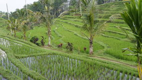 Rice field terraces Stock Photography