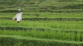 Rice field terraces Royalty Free Stock Images