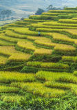 Rice field terraces in Vietnam. Scenic view of green rice field terraces in the Sapa Valley with a worker in the background, Vietnam Stock Photography