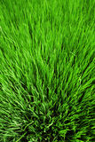 Rice field texture Stock Photography
