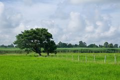 Rice field in Thailand Royalty Free Stock Photo