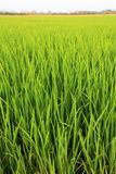 Rice Field - Thailand Royalty Free Stock Photography