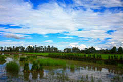 Rice field in Thailand. Royalty Free Stock Photo