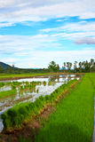 Rice field in Thailand. Royalty Free Stock Image