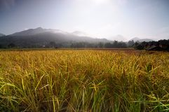 The rice field in thailand Stock Images