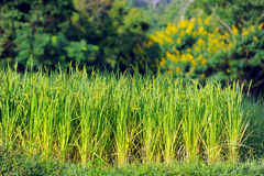 The rice field in Thailand Royalty Free Stock Photos