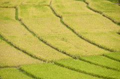 Rice field in Thailand. Royalty Free Stock Photos