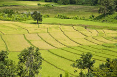 Rice field in Thailand. Royalty Free Stock Images
