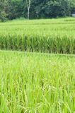 Rice field in Thailand. Royalty Free Stock Photography