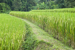 Rice field in Thailand. Stock Photos